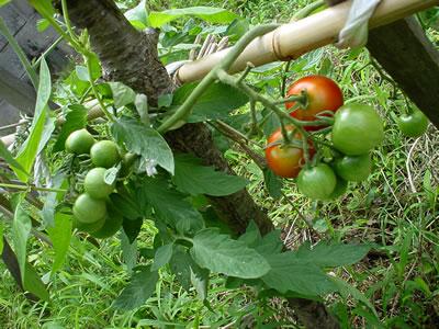 140719_tomato.jpg