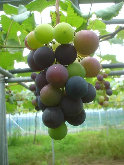 090724_grape01.jpg
