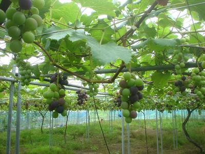 090724_grape02.jpg