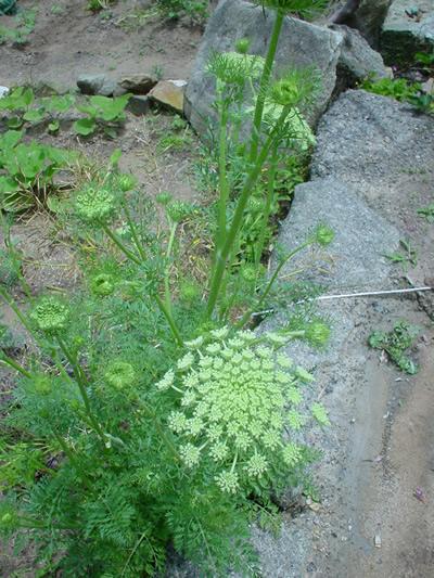 caeotflower.jpg