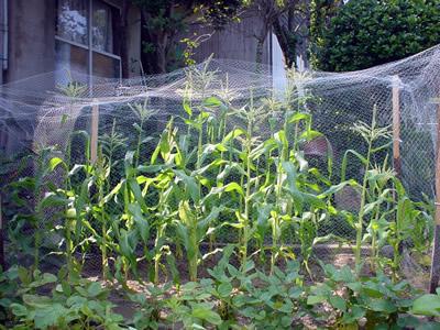 corn_080722.jpg