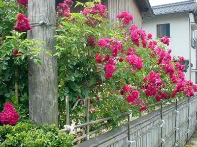 rose_path.jpg